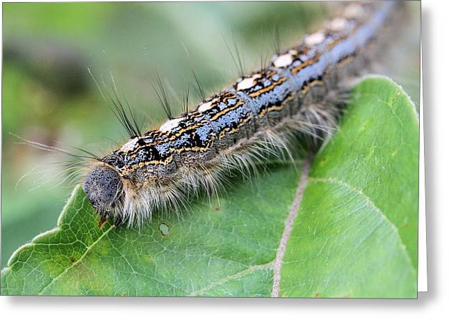 Forest Tent Caterpillar Greeting Card by Doris Potter