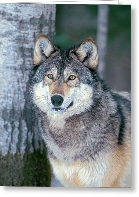 Forest Wolf Greeting Card