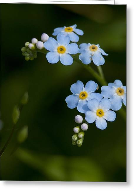 Forget-me-not Cascade Greeting Card
