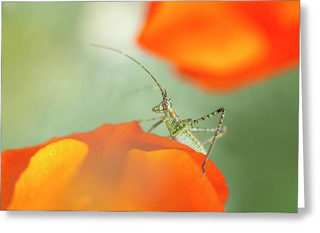 Fork-tailed Bush Katydid Nymph Greeting Card by Rob Sheppard