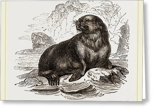 Forsters Sea-lion Greeting Card by Litz Collection