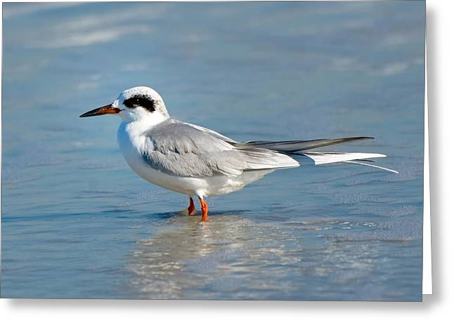 Forster's Tern Greeting Card by Rich Leighton
