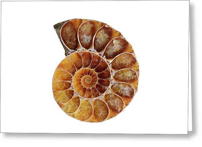 Fossil Ammonite Greeting Card by Cordelia Molloy
