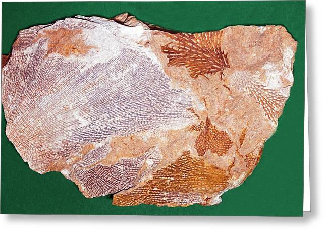 Fossil Bryozoans II Greeting Card