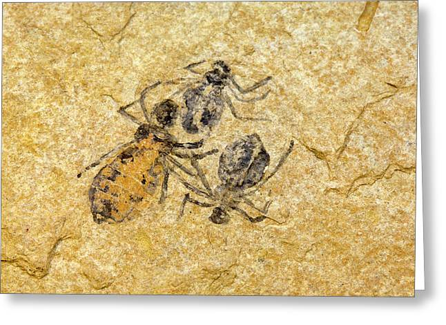 Fossil Dragonfly Larvae (libellula Doris) Greeting Card by Science Stock Photography