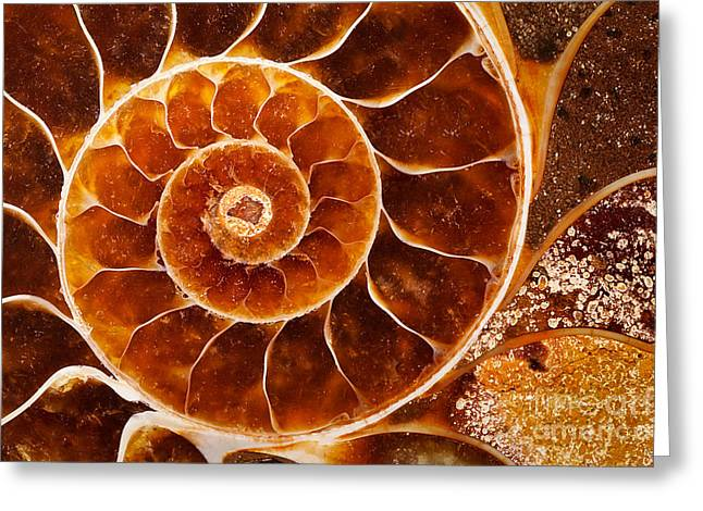 Fossil Nautilus Greeting Card by Alice Cahill