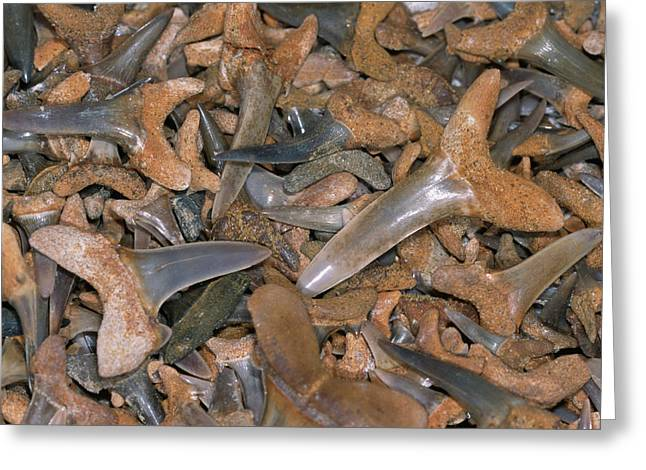 Fossil Shark Teeth Greeting Card by Sinclair Stammers/science Photo Library
