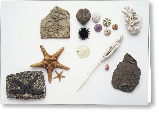 Fossilised And Modern Echinoderms Greeting Card by Dorling Kindersley/uig
