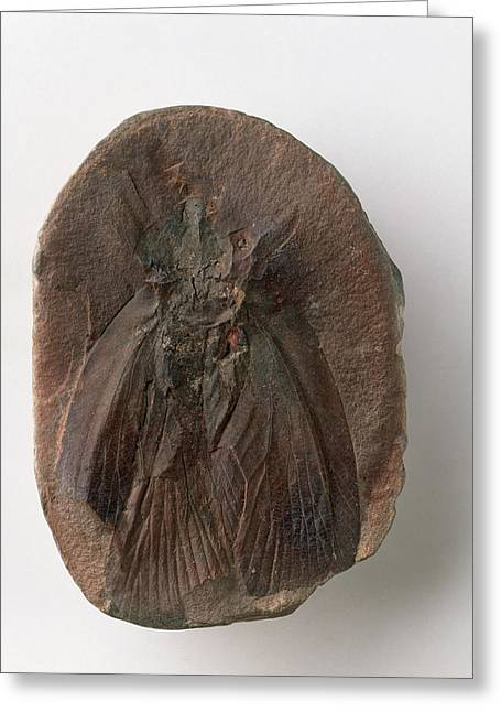 Fossilised Cockroach Greeting Card by Dorling Kindersley/uig