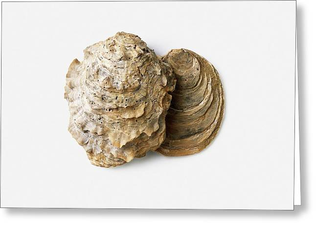 Fossilised Oyster Shells Greeting Card