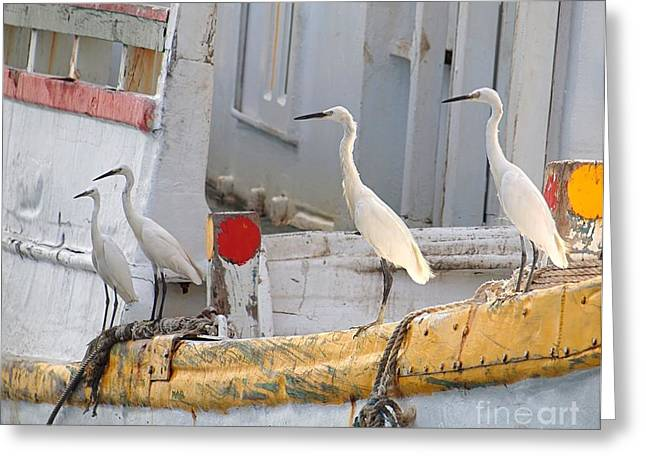 Four Egrets Watch For Fish Greeting Card