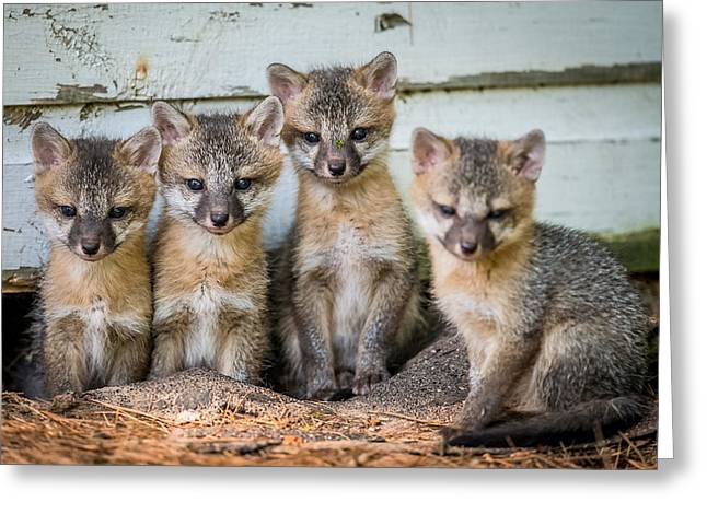 Four Fox Kits Greeting Card by Paul Freidlund
