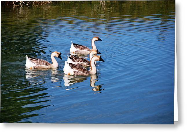 Four Geese A Swimming Greeting Card by Linda Segerson