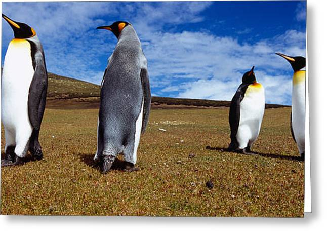 Four King Penguins Standing Greeting Card by Panoramic Images
