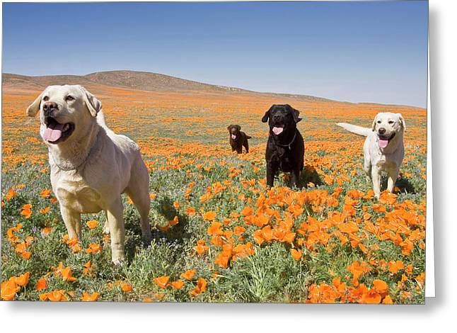 Four Labrador Retrievers Standing Greeting Card by Zandria Muench Beraldo