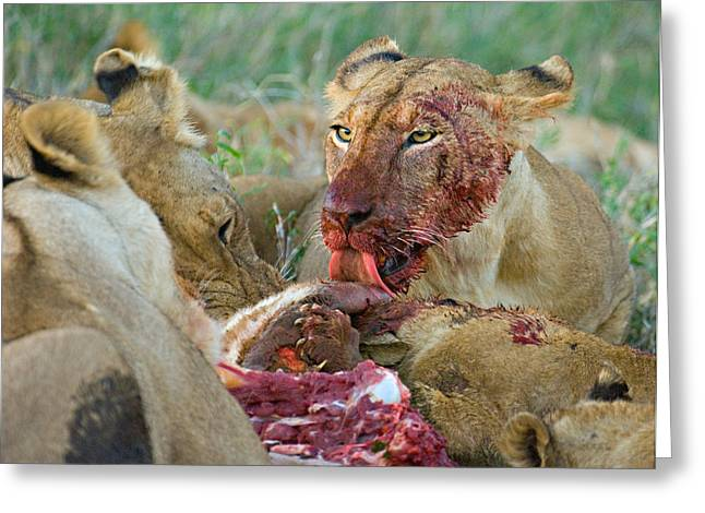 Four Lioness Eating A Kill, Ngorongoro Greeting Card