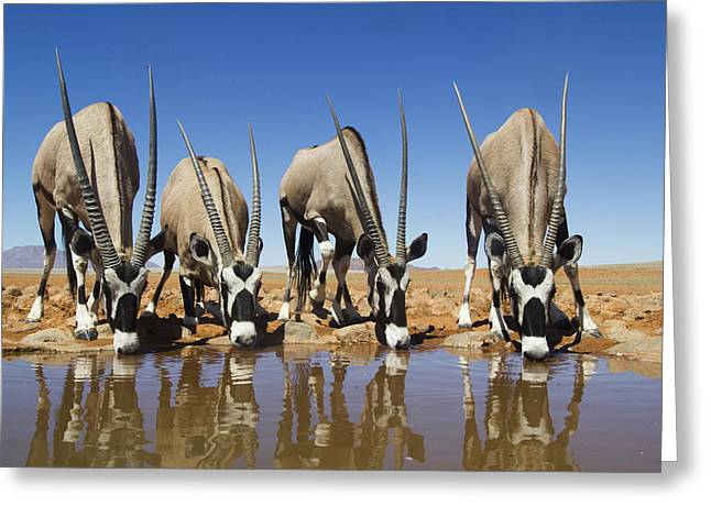 Four Oryx Drinking Namibrand Nature Greeting Card by Theo Allofs