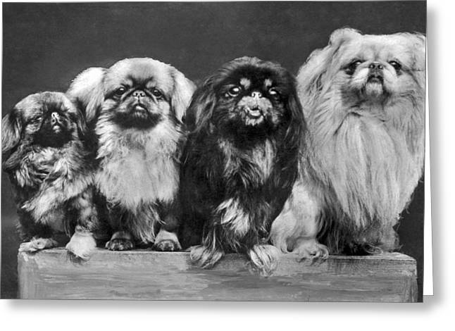 Four Pekingese On A Box Greeting Card by Underwood Archives