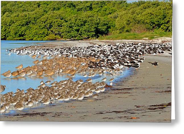 Greeting Card featuring the photograph Four Species Of Birds At Roost On Tampa Bay Beach by Jeff at JSJ Photography