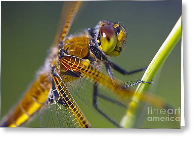 Four Spotted Chaser Greeting Card by Sharon Talson