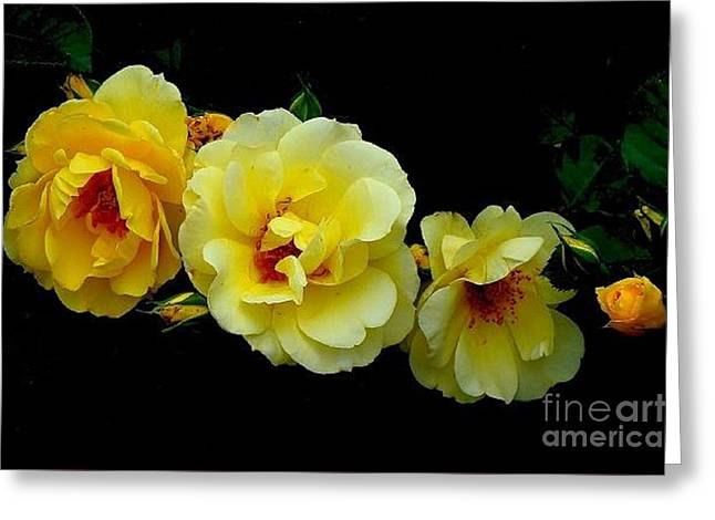 Four Stages Of Bloom Of A Yellow Rose Greeting Card
