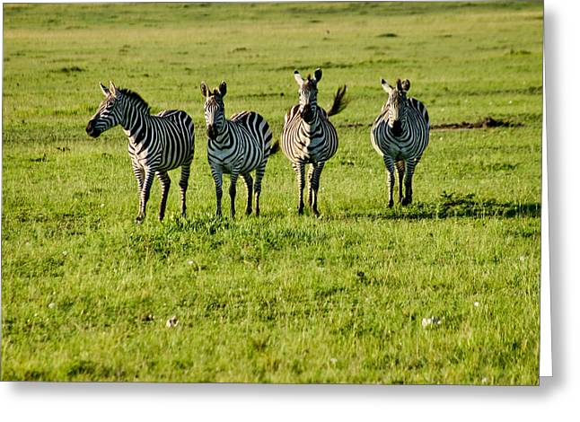 Four Zebras Greeting Card by Menachem Ganon