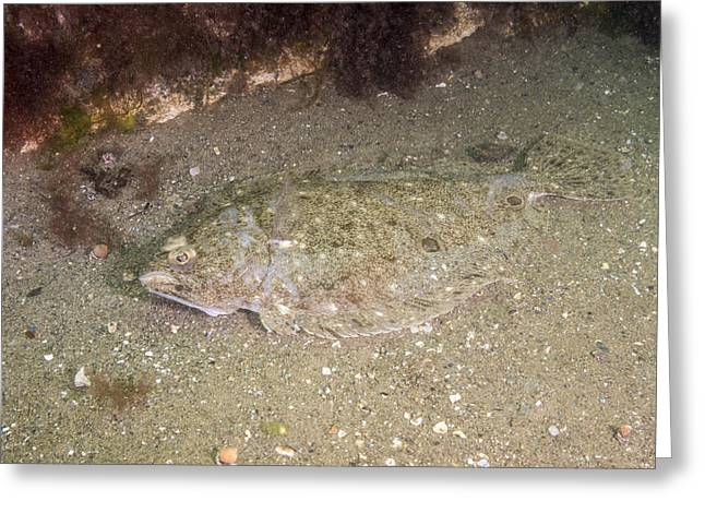 Fourspot Flounder Greeting Card by Andrew J. Martinez
