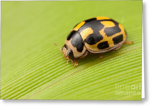 Fourteen-spotted Lady Beetle I Greeting Card