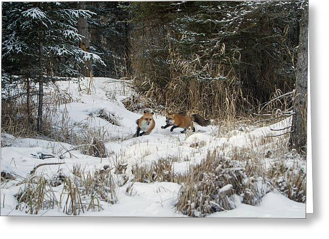 Fox Hollow Greeting Card by Jack Bell