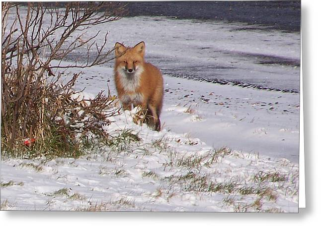 Fox In My Yard Greeting Card