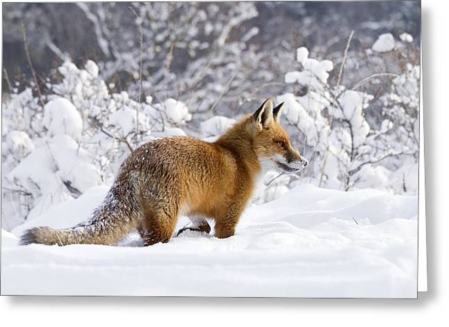 Fox In The Snow Greeting Card by Roeselien Raimond