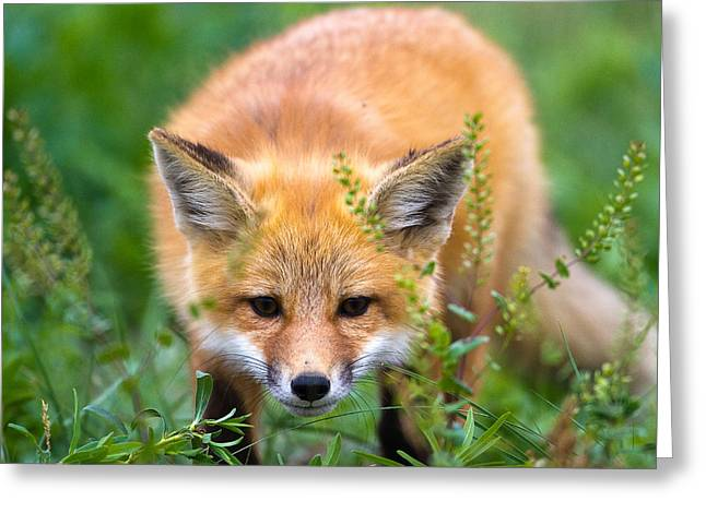 Fox Kit Hiding In The Grass Greeting Card