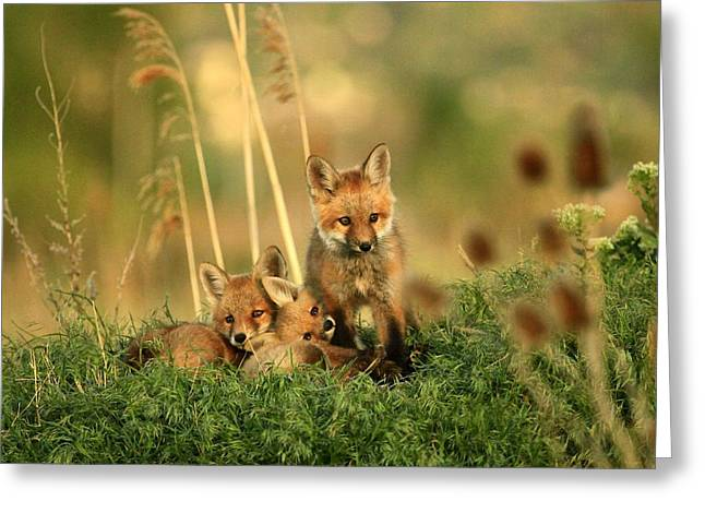 Fox Kits Iv Greeting Card