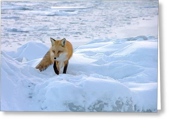 Fox Of The North II Greeting Card