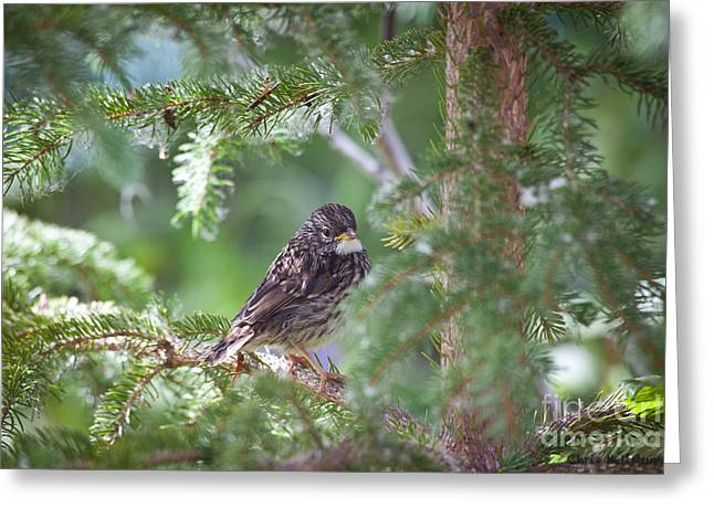 Fox Sparrow Juvenile Greeting Card by Chris Heitstuman