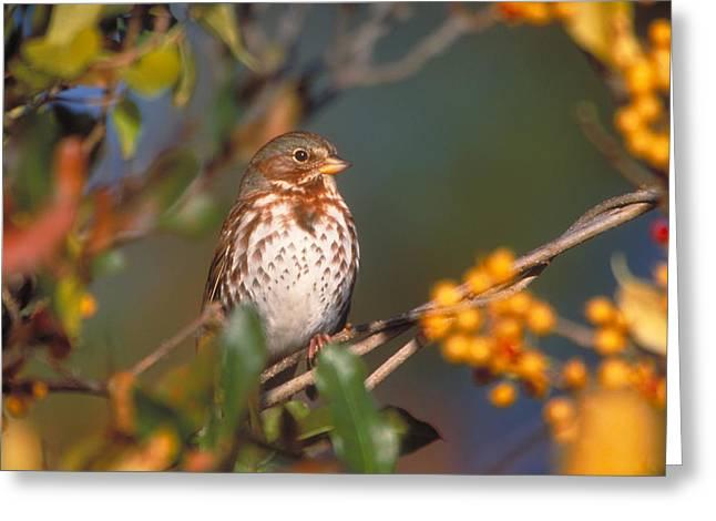 Fox Sparrow Greeting Card by Paul J. Fusco