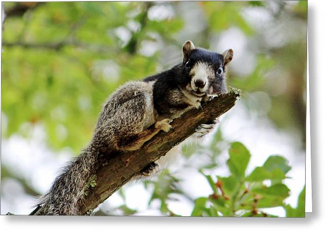 Fox Squirrel Greeting Card by Cynthia Guinn
