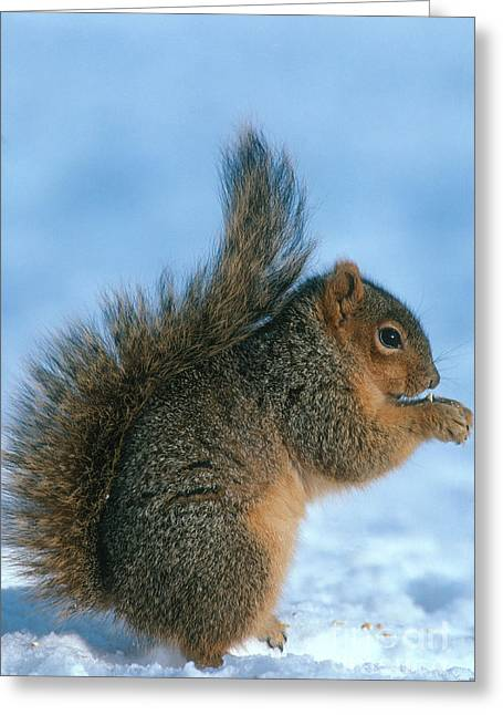 Fox Squirrel Greeting Card by William H. Mullins