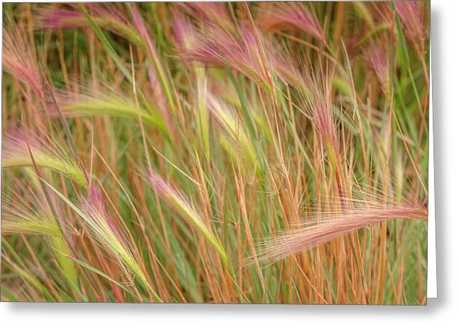 Fox-tail Barley, Hordeum Jubatum Greeting Card