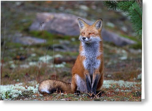 Fox Zen - Algonquin Park Greeting Card
