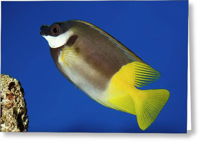 Foxface Rabbitfish Greeting Card
