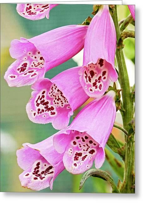 Foxglove (digitalis Purpurea 'foxy') Greeting Card