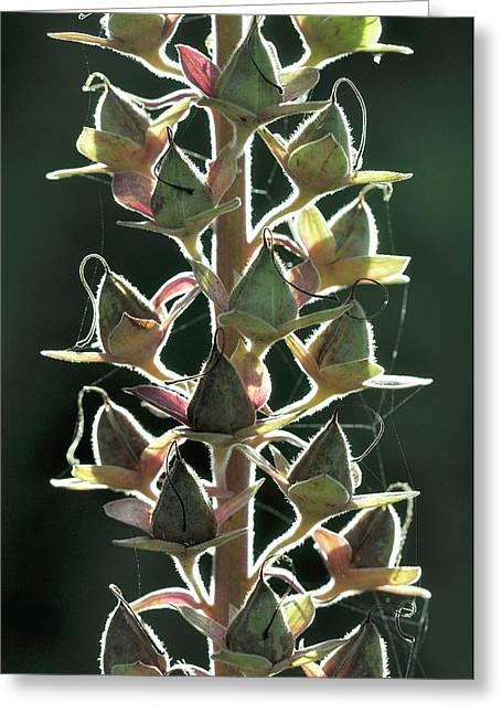 Foxglove (digitalis Purpurea) Seedpods Greeting Card