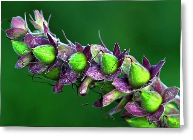 Foxglove Seed Pods Greeting Card by Colin Varndell