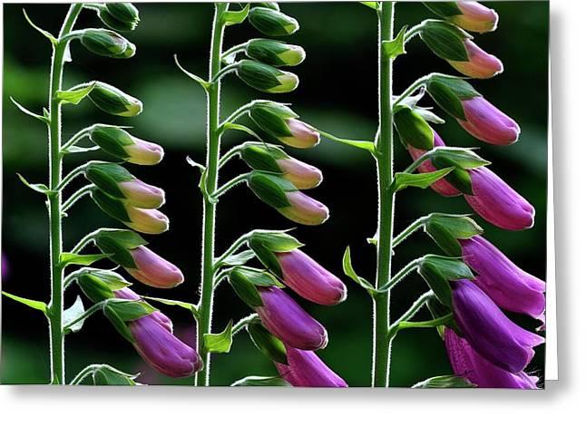 Foxgloves (digitalis Purpurea) In Flower Greeting Card