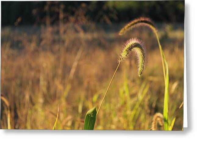 Foxtail Grass - Indian Summer Greeting Card by Annette Gendler