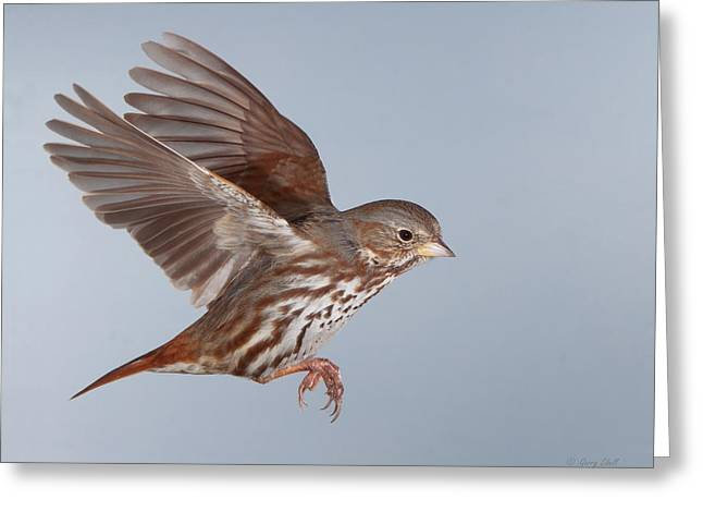 Foxy The Sparrow Greeting Card by Gerry Sibell