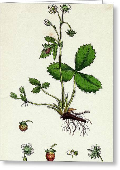 Fragaria Vesca Wild Strawberry Greeting Card