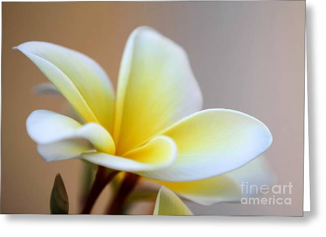 Fragrant Frangipani Flower Greeting Card by Sabrina L Ryan