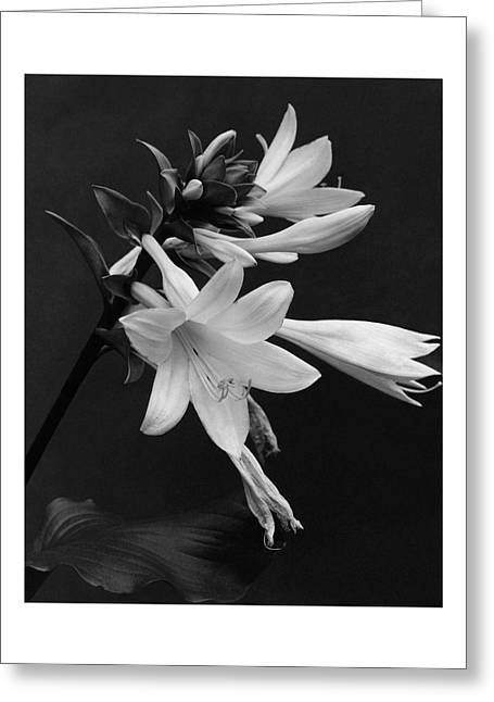 Fragrant Plantain Lily Greeting Card